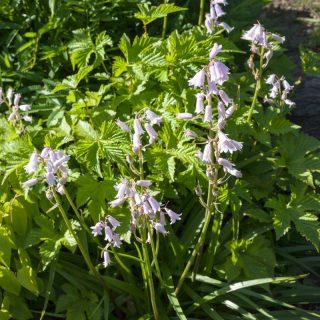 Hyacinthoides hispanica 'Dainty Maid' - klockhyacint