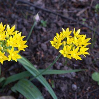 Allium moly - guldlök