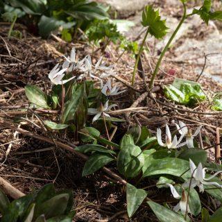 Erythronium dens-canis 'Snowflake' - hundtandslilja
