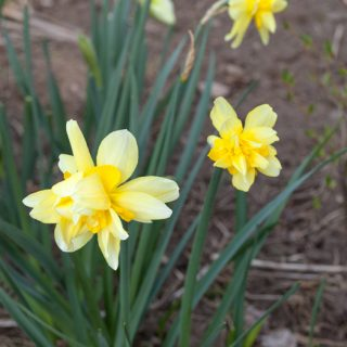 Narcissus x incomparabilis 'Safina' - narciss
