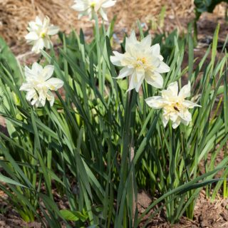Narcissus x incomparabilis okänd sort