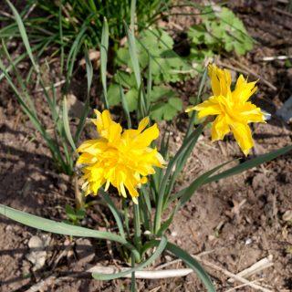 Narcissus pseudonarcissus 'Telamonius Plenus', syn. 'Van Sion' - påsklilja