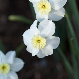 Narcissus x incomparabilis 'Segovia' - narciss