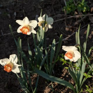 Narcissus x incomparabilis 'Pink Charm' - narciss