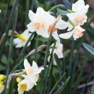 Narcissus Jonquilla-grp 'Bell Song' - narciss