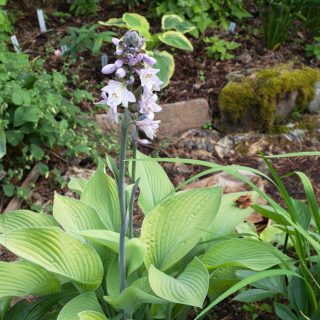 Hosta 'Gold Regal'