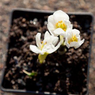 Colchicum szovitsii - snöljusblomma
