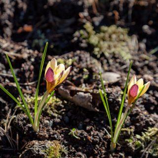 Crocus chrysanthus 'Herald'
