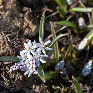 Scilla bifolia 'Rosea' - tidig blåstrjärna