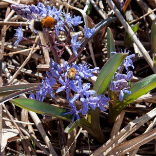 Scilla bifolia - tidig blåstrjärna