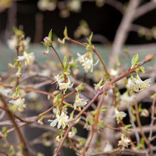 Lonicera x purpusii - apriltry