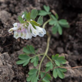 Corydalis solida seedlings - light colours