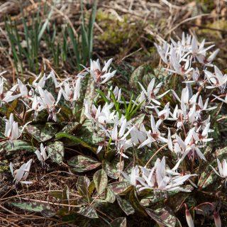 Erythronium dens-canis 'Charmer'
