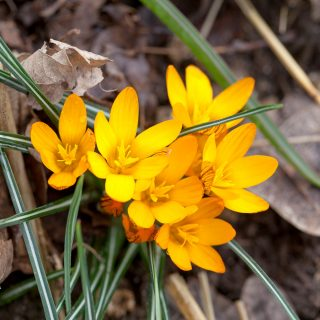Crocus olivieri ssp. balansae 'Orange Monarch'
