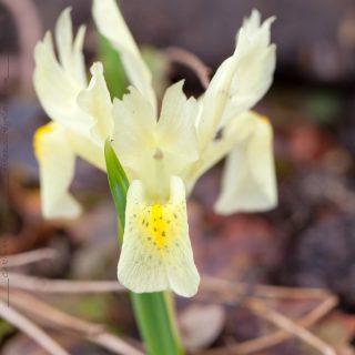 Iris winogradowii - gul våriris