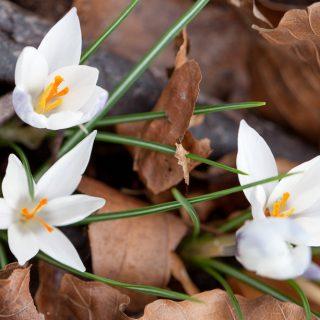 Crocus biflorus ssp. weldenii 'Albus'