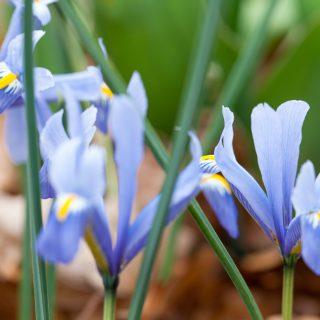 Iris Reticulata-grp 'Cantab'