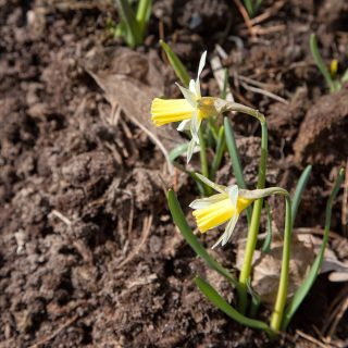 Narcissus pseudonarcissus 'Elka' - påsklilja