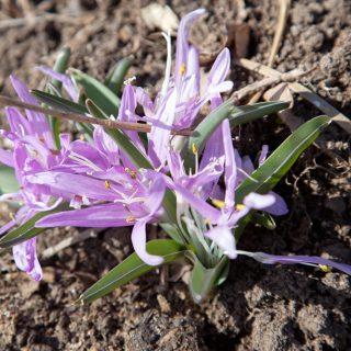 Colchicum bulbocodium - ljusblomma