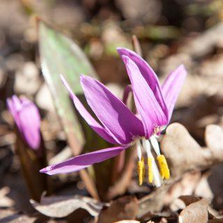 Erythronium sibiricum - sibirisk hundtandslilja