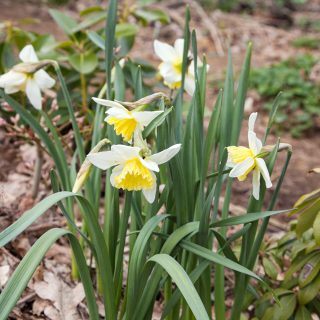 Narcissus x incomparabilis 'Ice Follies'