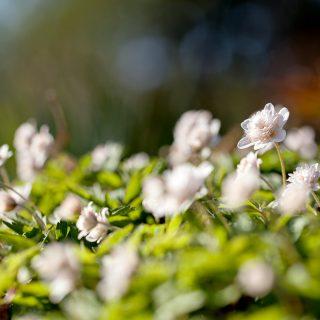 Anemone nemorosa 'Pink Delight'