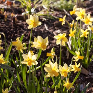 Narcissus Cyclamineus-grp 'Mother Duck' - narciss