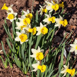 Narcissus Cyclamineus-grp 'Wisley' - narciss