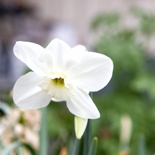 Narcissus x incomparabilis 'Princess Zaide'