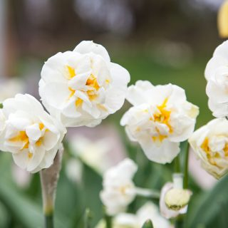 Narcissus 'Winston Churchill' - bukettnarciss