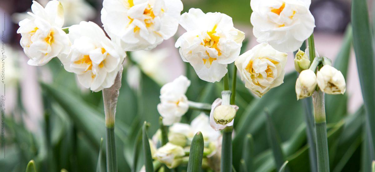 Narcissus – narcisser i min trädgård