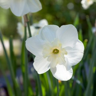 Narcissus x incomparabilis 'Polar Mist'