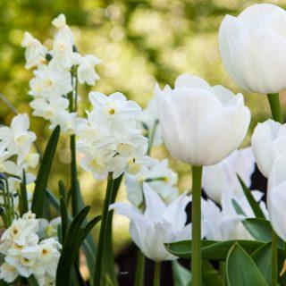 Narcissus Tazetta-grp 'Silver Chimes'