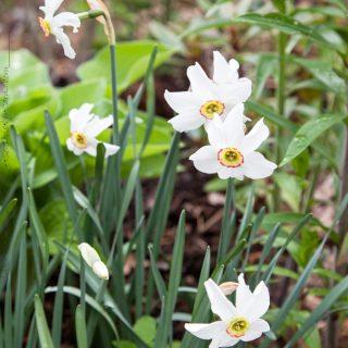 Narcissus poeticus 'Recurvus' riktigt gammal och väldoftande
