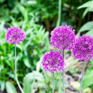 Allium 'Purple King'