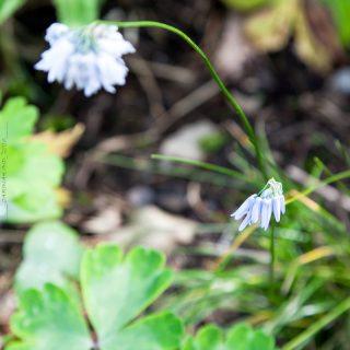Allium sikkimense - porslinslök