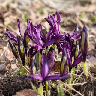 20180329-0011-iris-reticulata-george-kvadrat