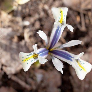 Iris Reticulata-gruppen 'Eyecatcher'