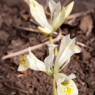 Iris Reticulata-grp 'Katharine's Gold' - våriris