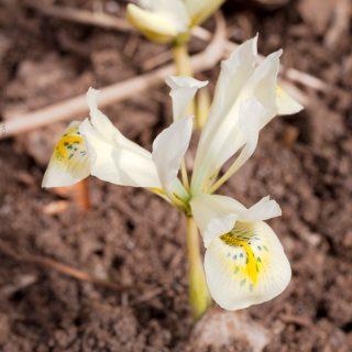 Iris Reticulata-grp 'Katharine's Gold'