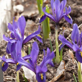 Iris retigulata-grp 'Palm Springs' - våriris