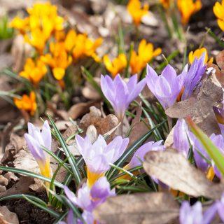 Vårblommande lökar - Crocus sieberi 'Firefly'