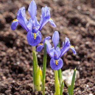 Iris Reticulata-grp 'Cantab'?