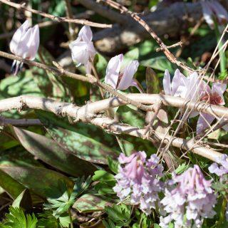 Lökar och knölar - Corydalis, nunneört och Erythronium, hundtandslilja