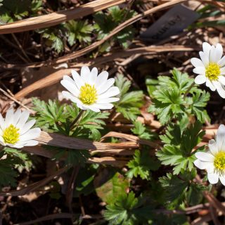 Anemone blanda 'White Splendour' - balkansippa