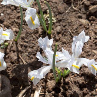 Iris Reticulata-grp 'White Caucasus'