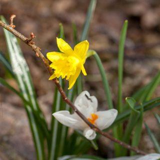 Narcissus asturiensis - miniatyrpåsklilja