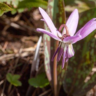 Erythronium dens-canis 'Moerheimii'
