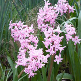 Hyacinthus - hyacint rosa