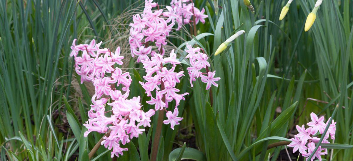 Hyacinthus – hyacint